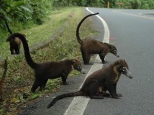 viajar a Costa Rica con niños 2013- La Fortuna, encuentro con coaties