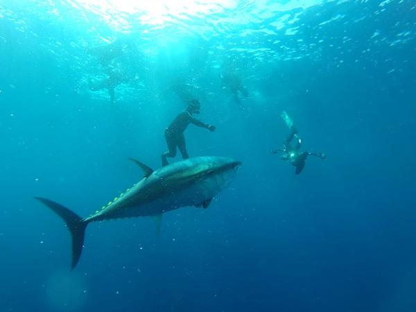 terres de lEbre nadar con atunes