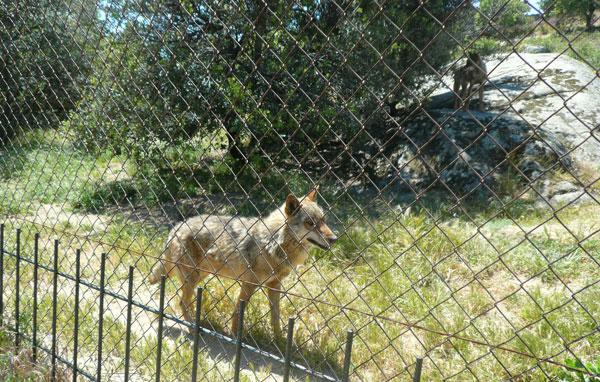 Cañada Real lobos