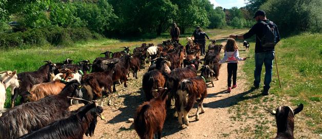 Pastoreo con la Cabra Guadarrameña