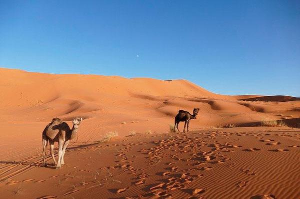 marrakech desierto camellos
